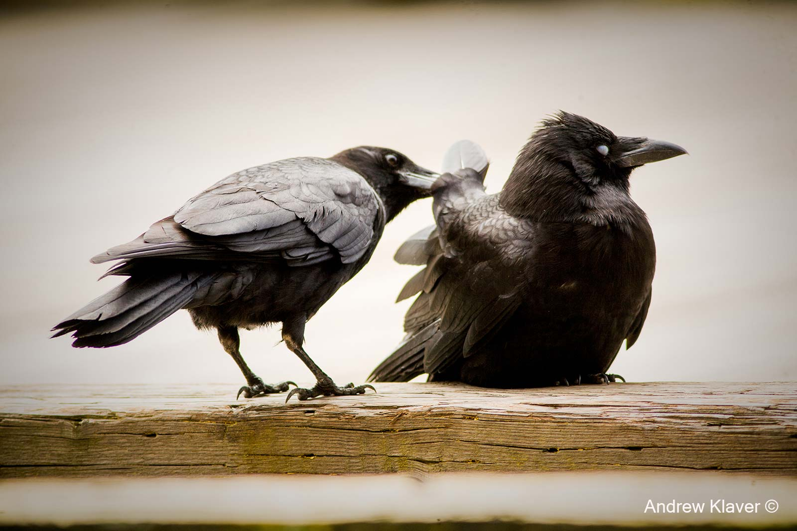 Crows grooming each other
