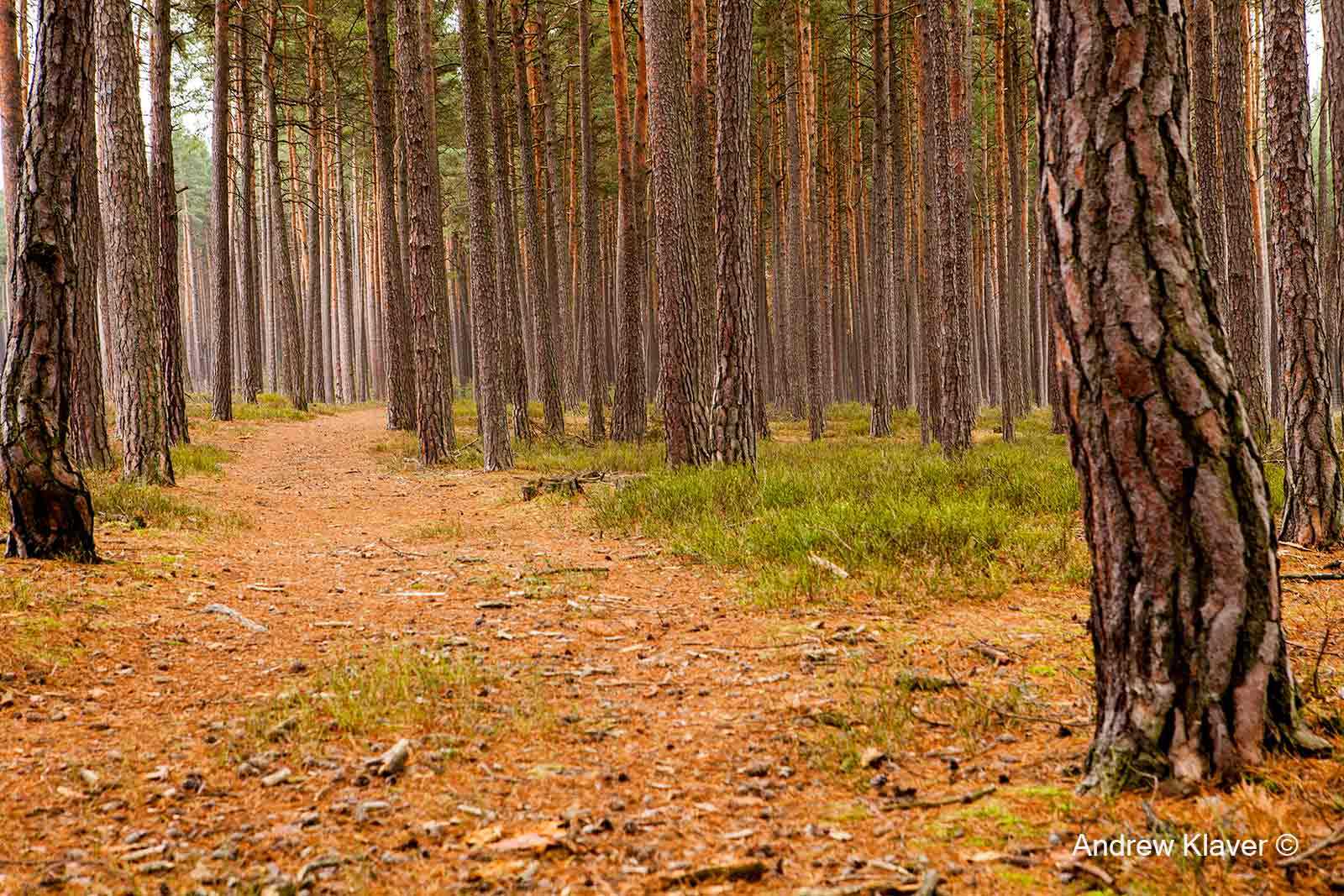 Pine forest in Domainin